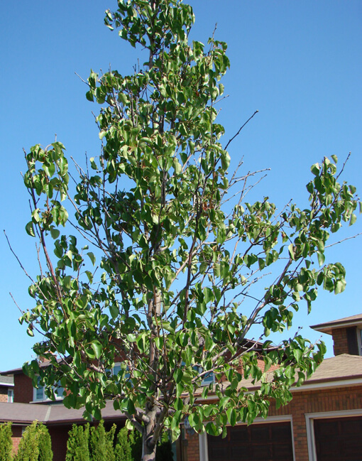 Ornamental Pear without biochar